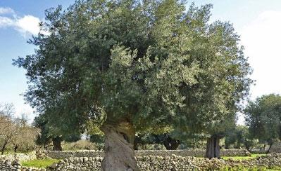 モッジカート農園の大きなオリーブの樹